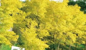 黄金アカシアの丘展望リフトとチョコレートコスモス・四つ葉のクローバー摘み
