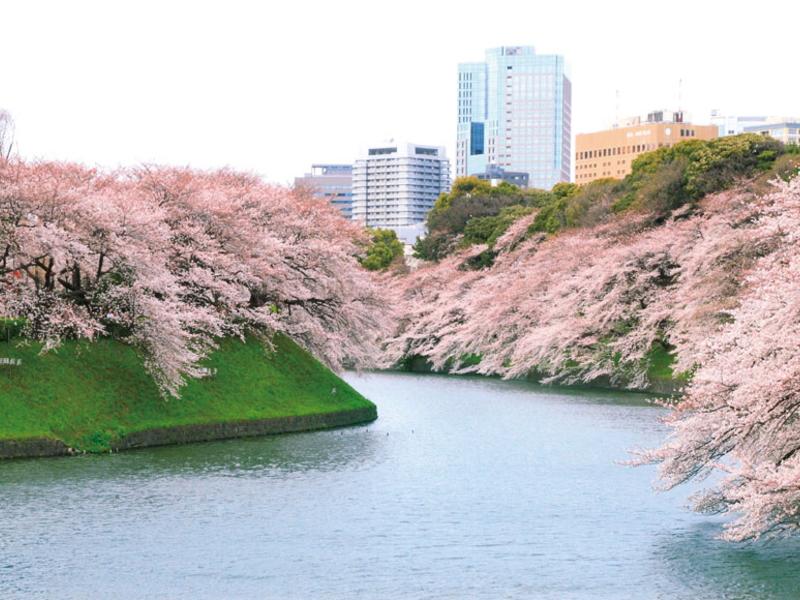 桜の千鳥ヶ淵/4月頃