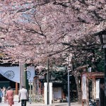 靖国神社の桜/4月頃