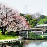 桜と浜離宮恩賜庭園/4月頃