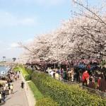 隅田川堤の桜/4月頃