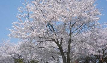 桜の名所「飛鳥山公園」としだれ桜の名園めぐり