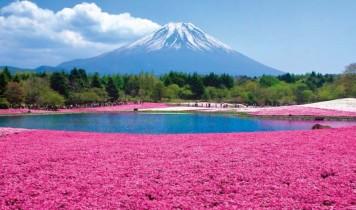 ピンクの絨毯!富士芝桜まつりとイチゴ狩り食べ放題(HT)