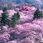 桜の高遠城址公園