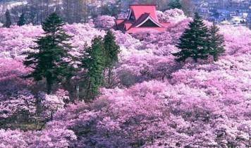 天下第一!高遠桜のお花見と山梨桃源郷・いちご狩り食べ放題(HT)
