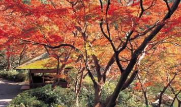 八芳園の紅葉御膳と秋色に染まる銀杏並木(HT)