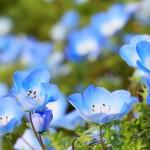 青の花・ネモフィラ