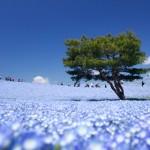 国営ひたち海浜公園「蒼い絨毯」