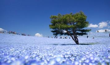 青い絨毯「青の花・ネモフィラ」と世界で紹介される「大藤棚」(VP)