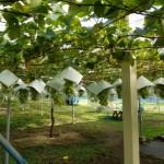 シャインマスカットのブドウ畑